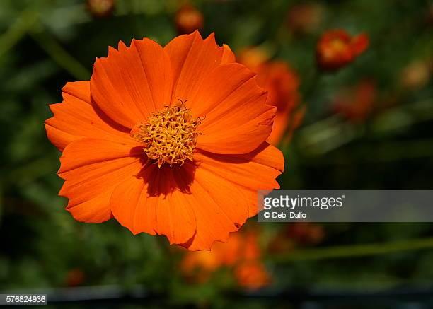 Orange Sulfur Cosmos Flower Blossom