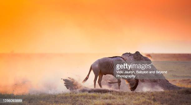 orange sunset panorama and wildebeest kicking up dust at amboseli, kenya - kenya stock pictures, royalty-free photos & images
