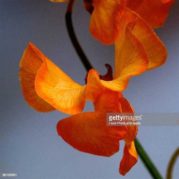 Orange sweet pea