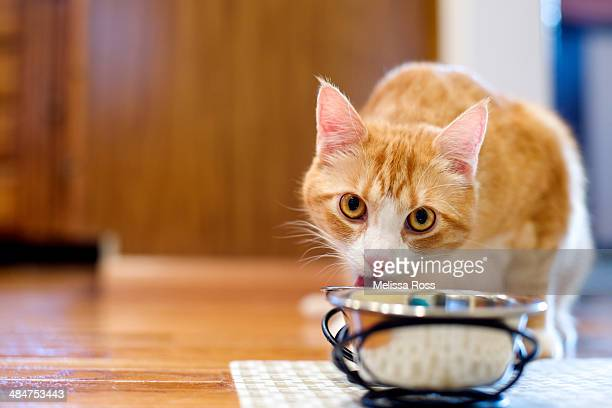Orange tabby cat eating from bowl