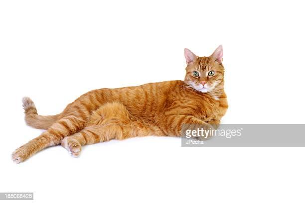 Länge getigerten Katzen auf weißem Hintergrund