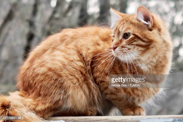 83 Brown Tabby Maine Coon Photos And Premium High Res Pictures Getty Images