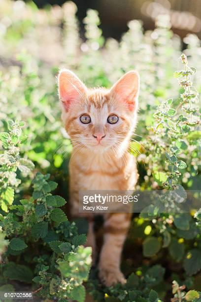 orange tabby kitten in garden - gatto soriano foto e immagini stock