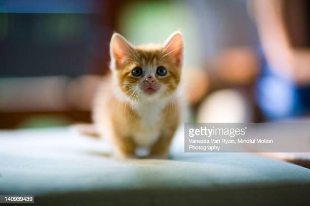 orange tabby kitten - vanessa van ryzin stock-fotos und bilder
