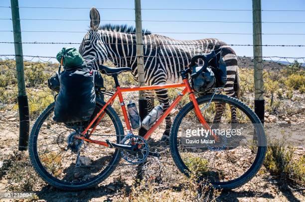 Orange touring bike in front of a zebra.