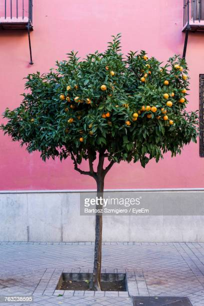 Orange Tree Against Wall