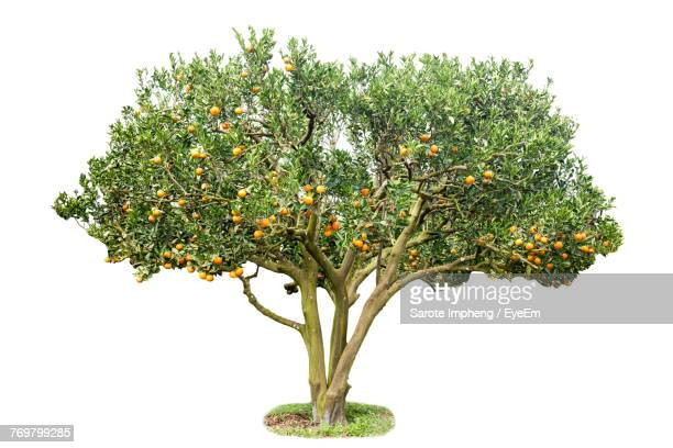 Orange Tree Against White Background