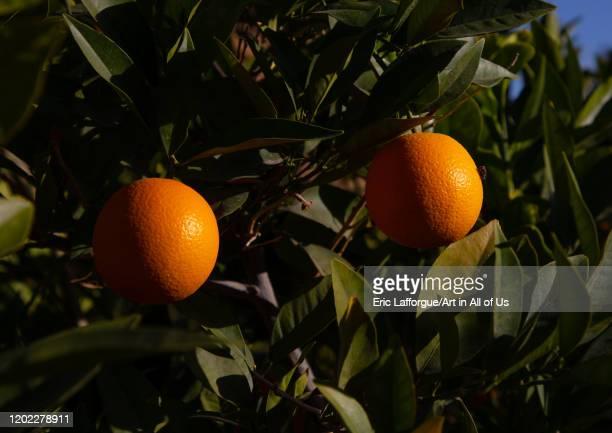 Orange tree, Al Madinah Province, Alula, Saudi Arabia on December 28, 2019 in Alula, Saudi Arabia.