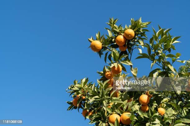 branches orange tree with ripe oranges