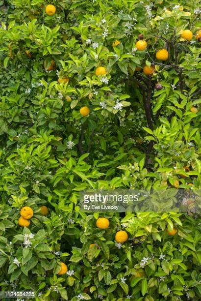 Orange Tree in Blossom