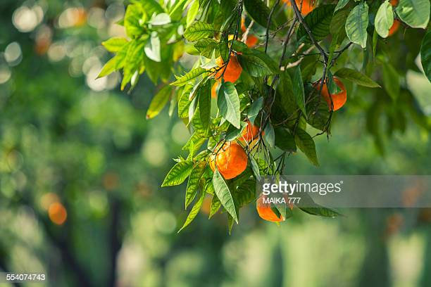 Orange Tree in Jardines de Monforte, Valencia
