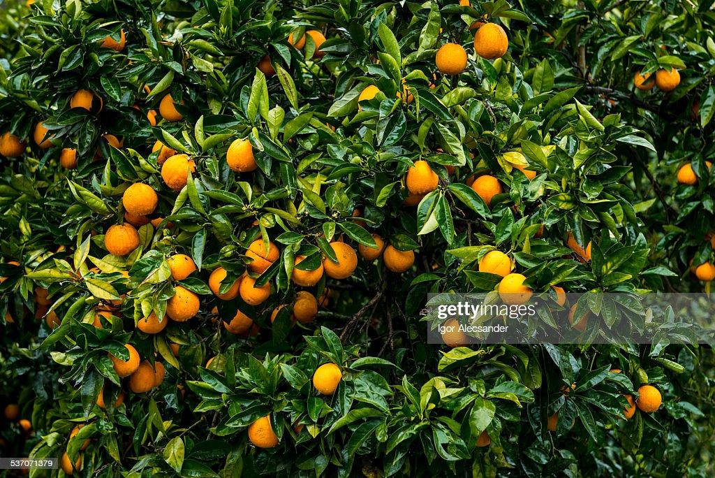 Orange Tree in Portugal : Stock Photo