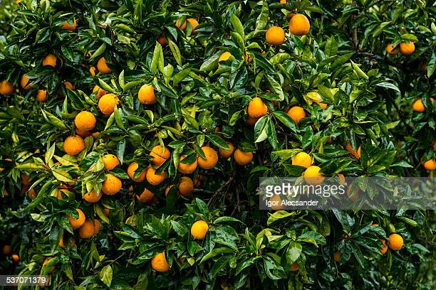 orange tree in portugal - orange orchard stock photos and pictures