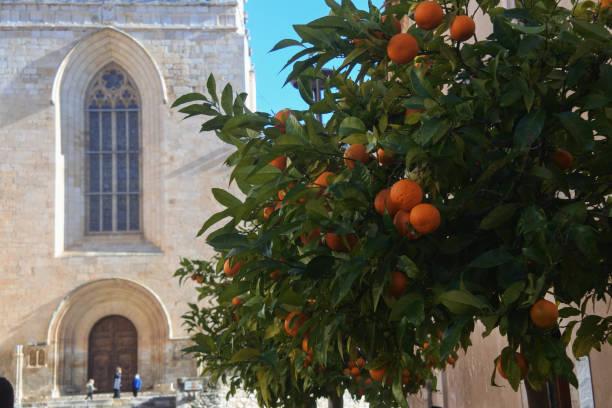 Orange tree in Santes Creus