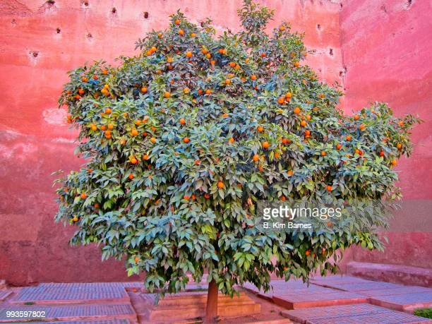 orange tree, marrakesh - orange blossom stock photos and pictures