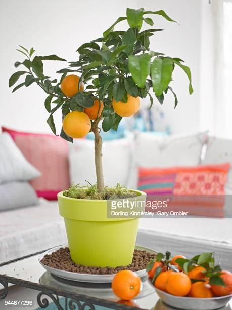 orange tree on coffee table in lounge