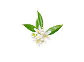 Orange tree or neroli white fragrant flowers, buds and leaves