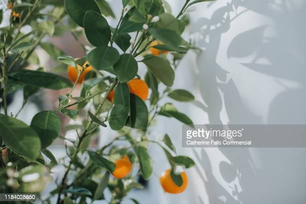 orange tree - fruit tree stock pictures, royalty-free photos & images