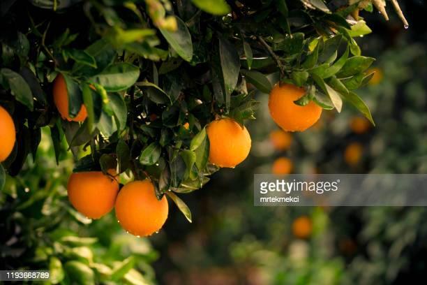 オレンジの木 - ミカン ストックフォトと画像