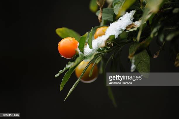 orange tree - 山口県 ストックフォトと画像