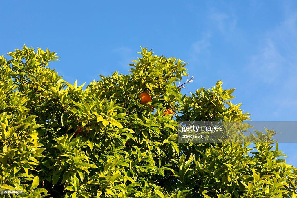 Orange Tree : Stock Photo