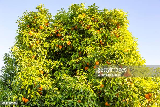 orange tree - orange grove stock photos and pictures