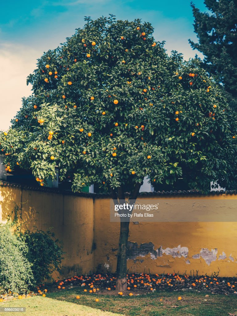 Orange tree : Stock Photo