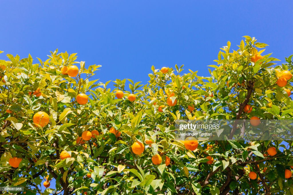 Orange trees against blue sky, low angle view : Stock Photo