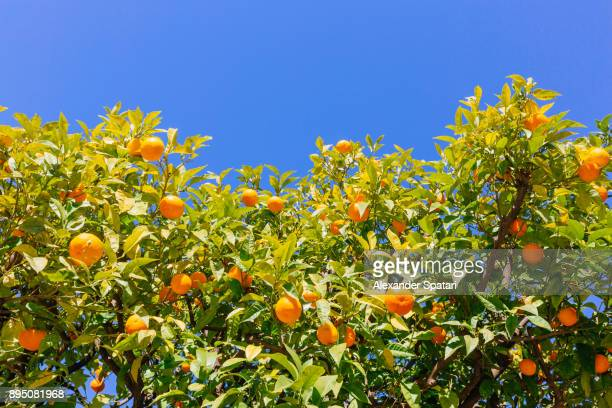 orange trees against blue sky, low angle view - orange orchard stock photos and pictures