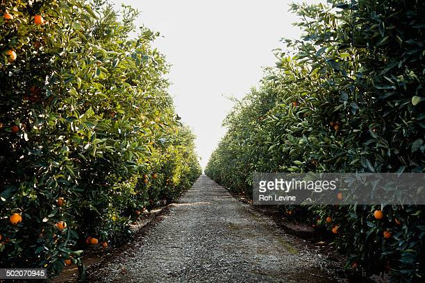orange trees in a grove - orange grove stock photos and pictures