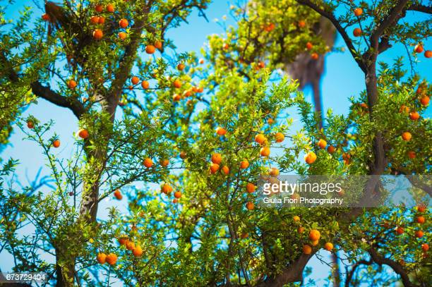 Orange trees in Seville, Spain