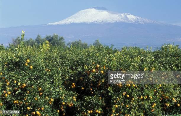 Orange trees near Etna Sicily Italy