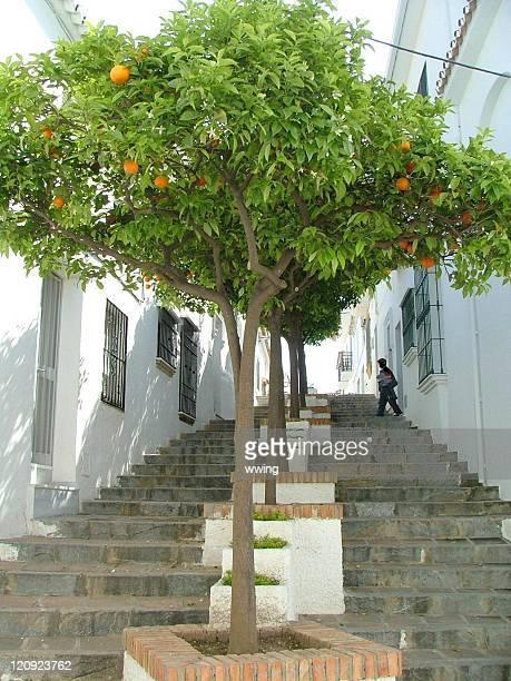 Orange Trees on Spanish Steps