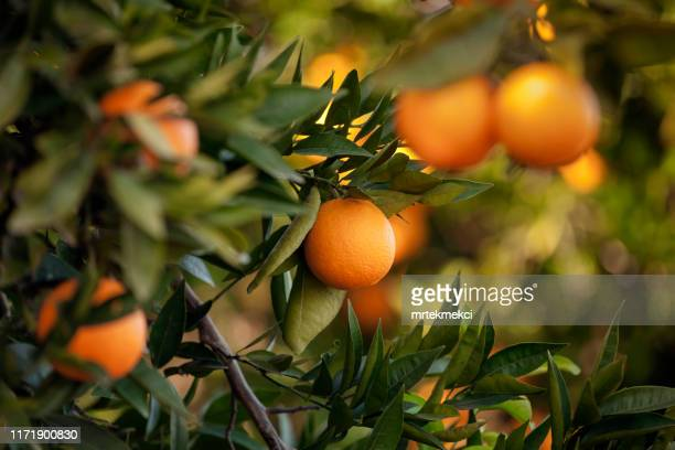 orange trees - citrus fruit stock pictures, royalty-free photos & images