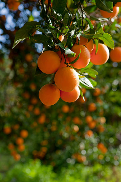 Orange Trees Wall Art