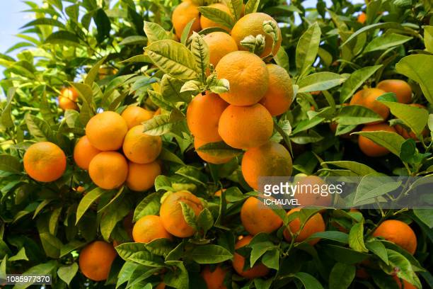 orange trees portugal - orange orchard stock photos and pictures