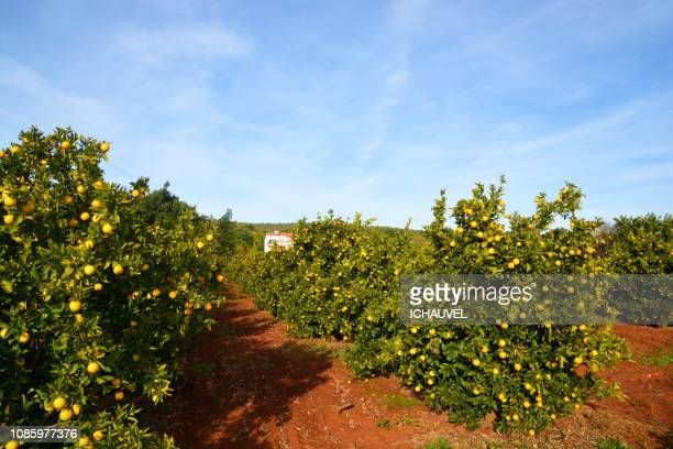 orange trees portugal - orange grove stock photos and pictures