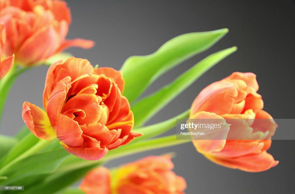 Orange Tulpe Blumen : Stock-Foto