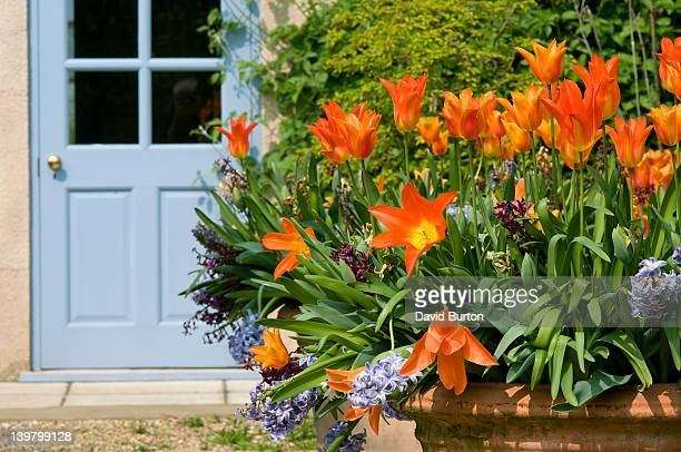 orange tulips (tulipa) in large garden pot, england. spring - terracotta stock pictures, royalty-free photos & images