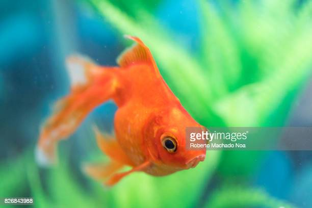 Orange veil-tail goldfish pet in home aquarium.