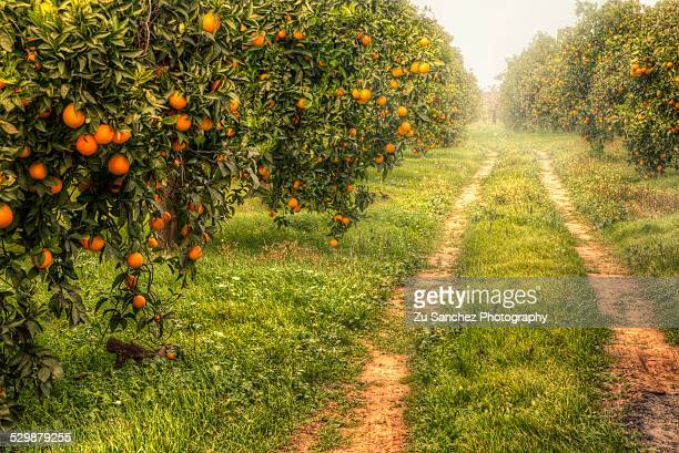 orange way - orange orchard stock photos and pictures