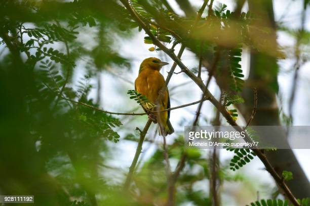 Orange weaver (Ploceus aurantius) on an acacia tree