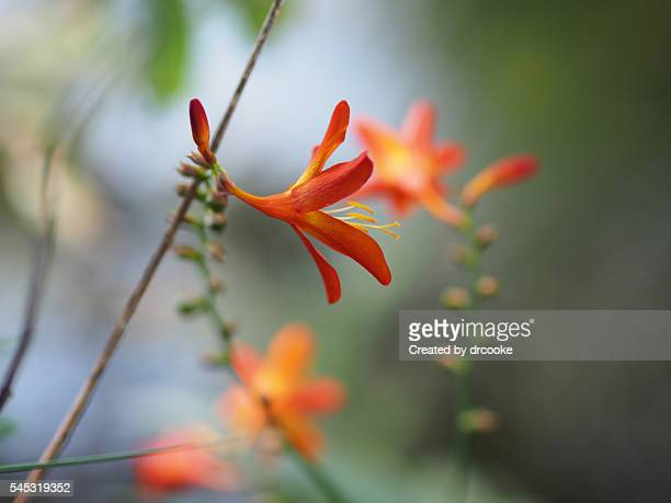 Orange wild hemerocalis