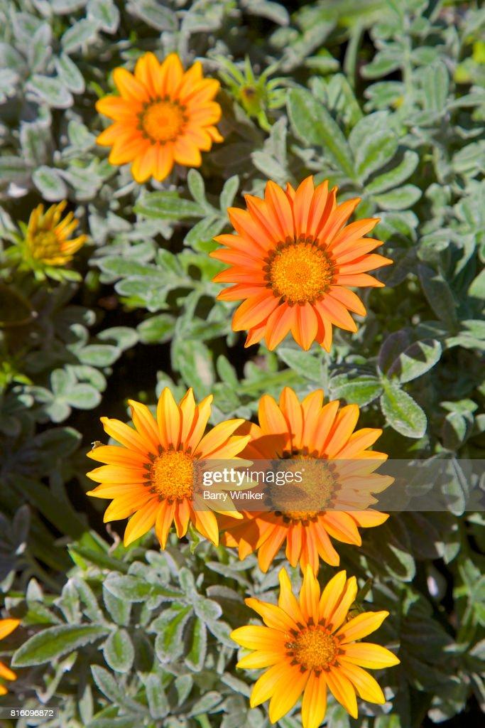 Orange With Reddishbronze Striped Petals Of Gazania Rigens