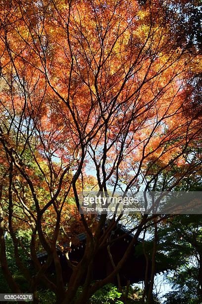 Orange-colored Japanese maple in temple in Kamakura