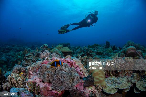 orange-fin anemonefish and female diver - palau, micronesia - north pacific stock pictures, royalty-free photos & images