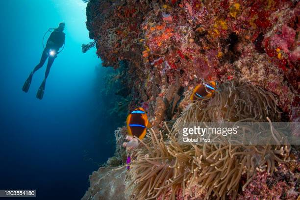 orange-fin anemonefish (amphiprion chrysopterus) and female diver - palau, micronesia - north pacific stock pictures, royalty-free photos & images