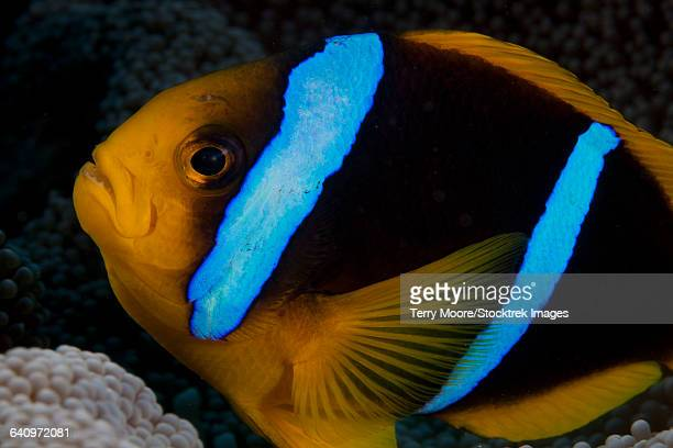 orange-fin anemonefish (amphiprion chrysopterus) in its host anenome, fiji. - orange fin clownfish stock photos and pictures