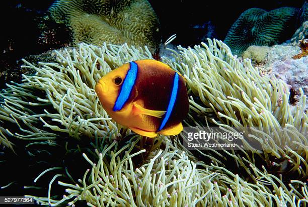 orange-fin anemonefish - orange fin clownfish stock photos and pictures