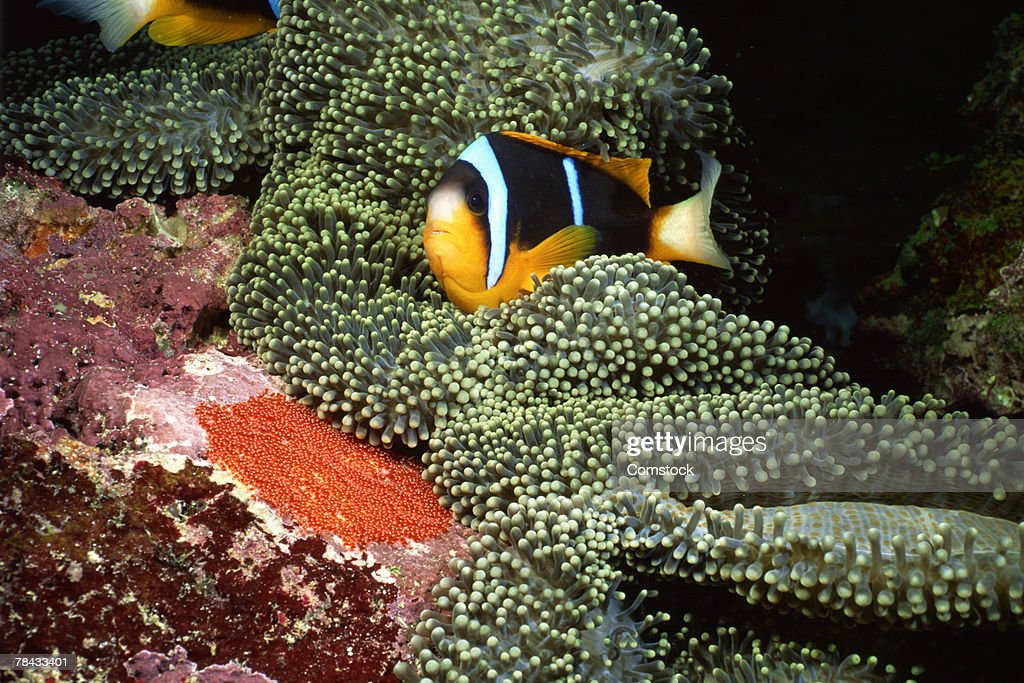 Orange-fin clownfish aerating eggs : Stockfoto